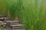Tanaman Akar Wangi, Rumput dengan Manfaat Berlimpah