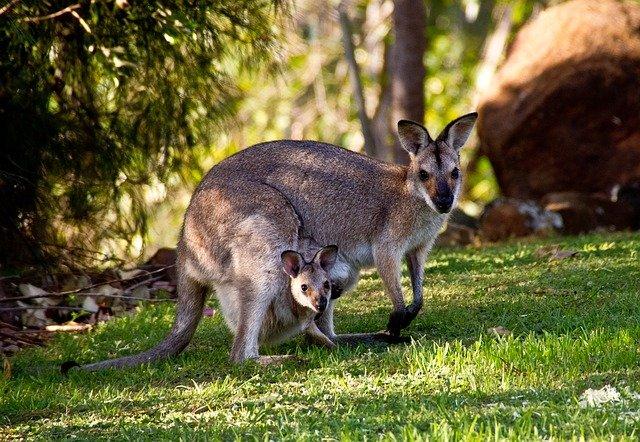 Walabi Australia - ©Pixabay.com