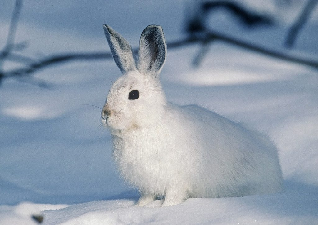Arctic hare - © Pixabay.com