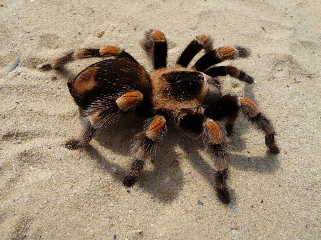 Gambar 6. Tarantul