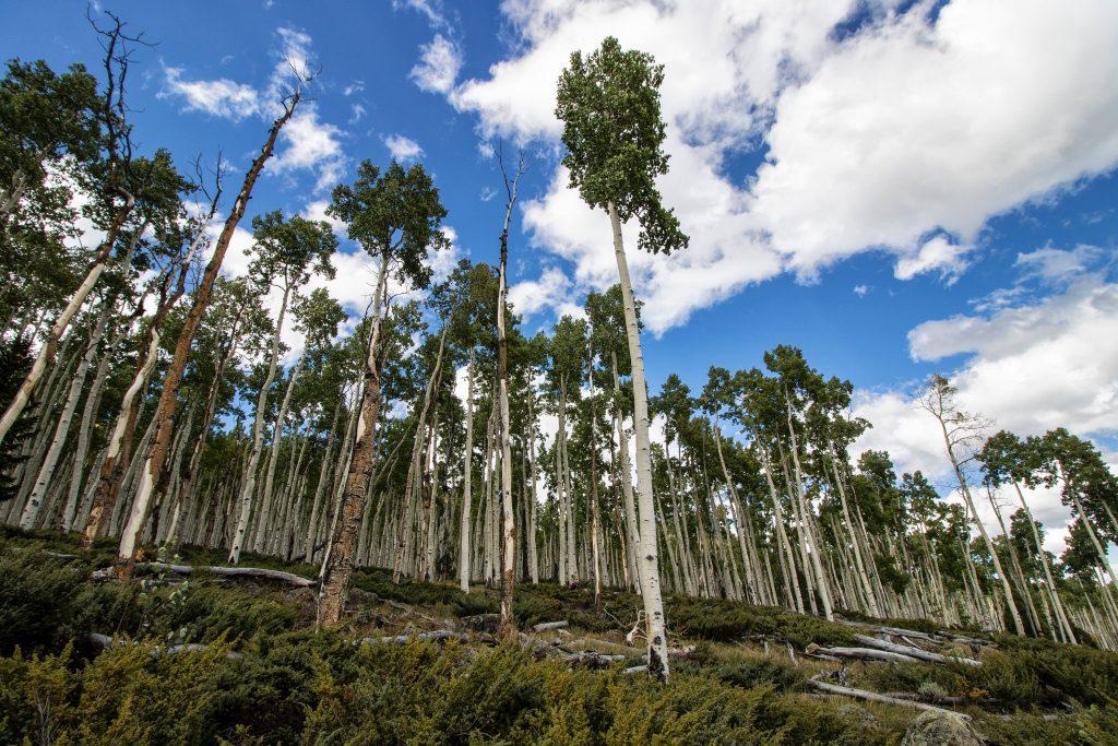 Penyusutan Hutan Aspen © The New York Times