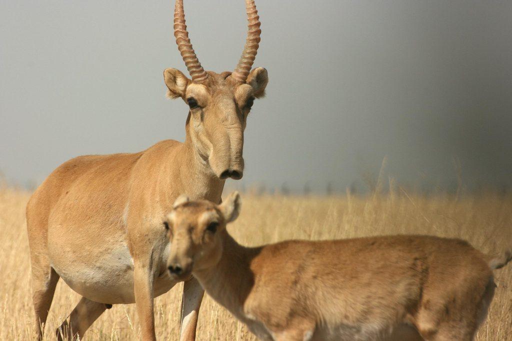 Saiga antelope - © ysjournal.com