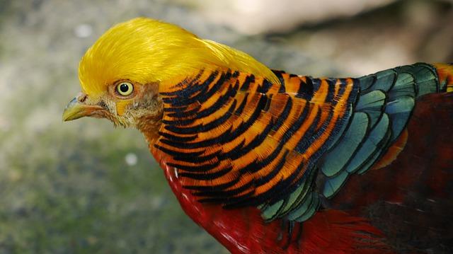 Golden pheasant - © pixabay.com