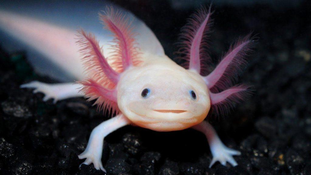 hewan paling unik: Axolotl - © wallpapercave.com