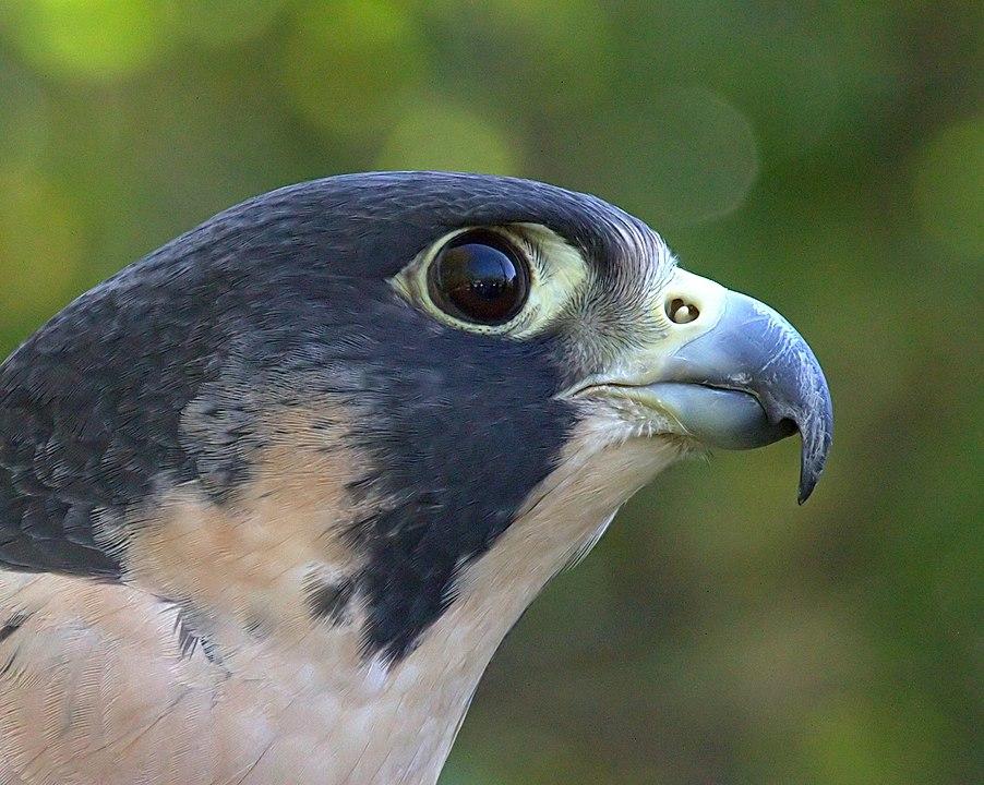 Gambar 4. Close-Up dari Alap-alap Kawah © Greg Hume