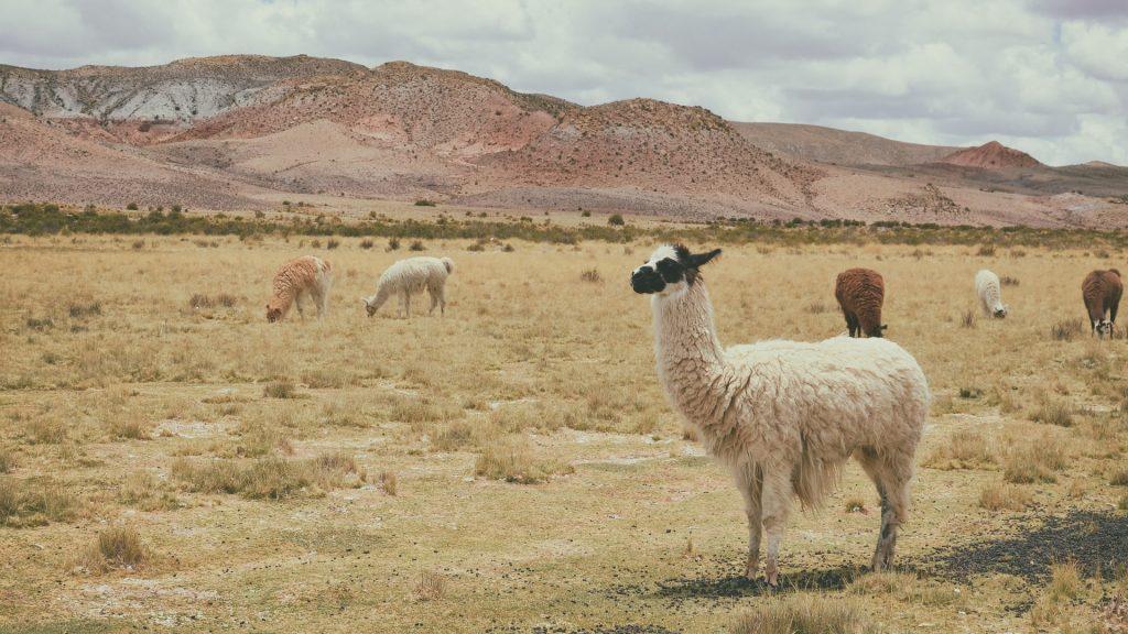 Gambar 2. Alpacas © Pexels