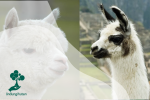 Terlihat Mirip, Ini Bedanya Llama dan Alpaca
