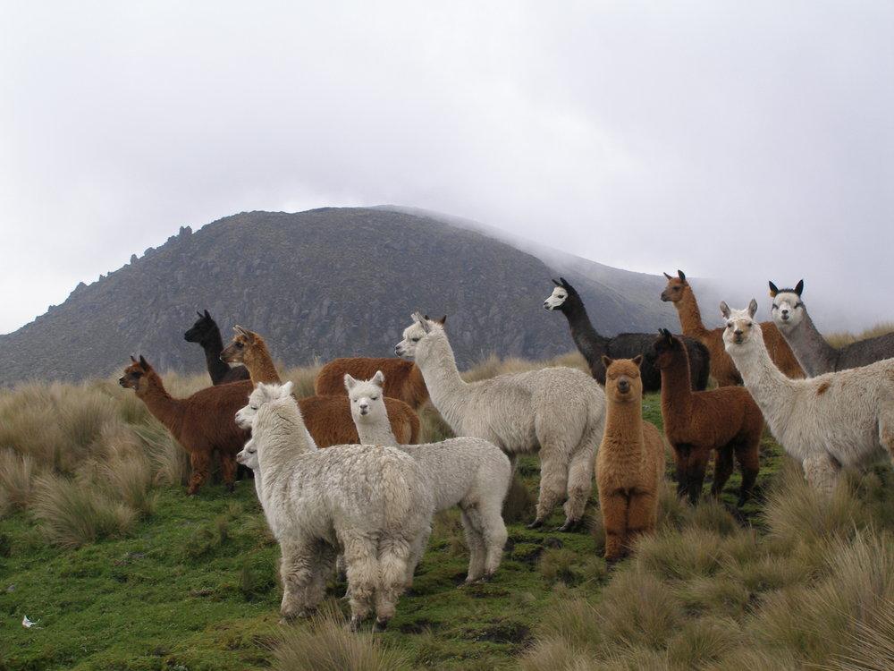Gambar 4. Alpacas and Llamas © Modern Farmer