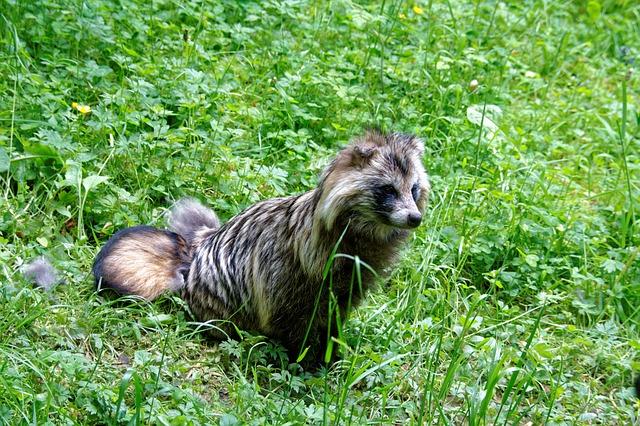 hewan paling unik: Anjing rakun - © pixabay.com