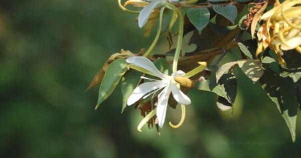 Gambar 2 Bunga Pohon Bayur