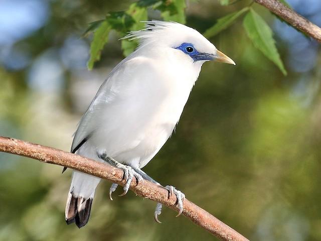 Gambar 1. Burung Jalak Bali yang Dilindungi