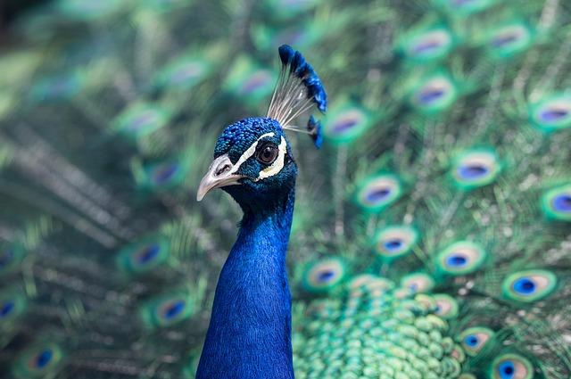 Burung merak - © pixabay.com