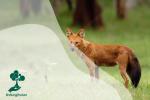 Dhole, Anjing Hutan yang Terancam Punah