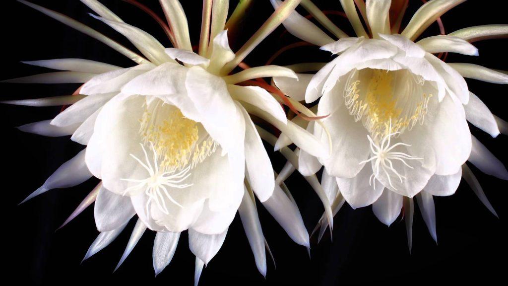 bunga kadupul