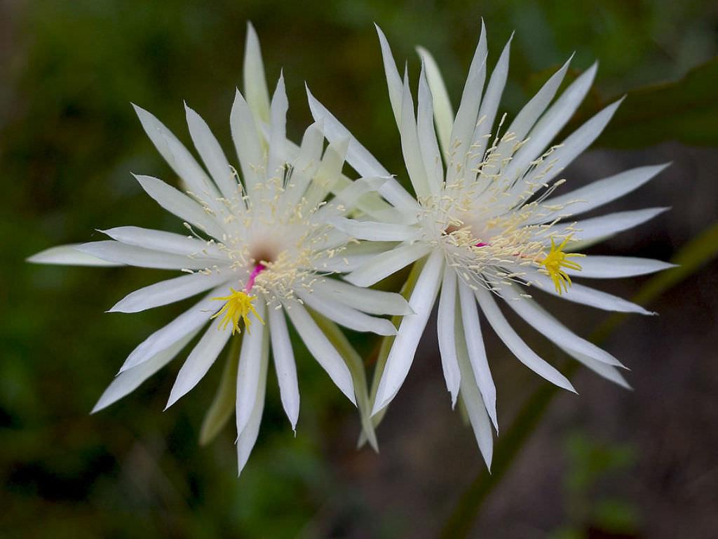 Epiphyllum hookeri Hookers Orchid Cactus3 – Wanaswara
