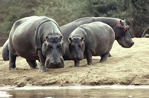 A Group of Hippopotamus amphibius ⓒ amazine.co