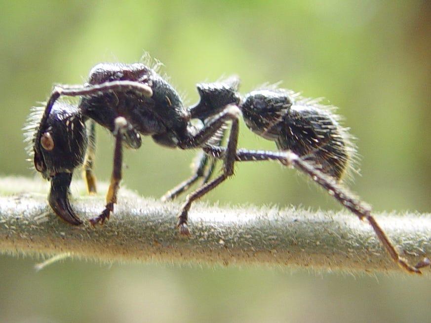 Gambar 1. Semut Peluru Memiliki Ukuran Tubuh Lebih Besar dan Bulu yang Lebih Banyak daripada Semut Lainnya