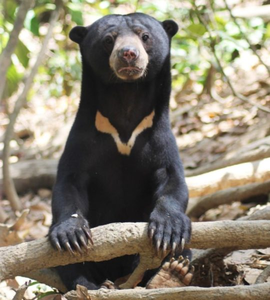 Gambar 1. Beruang Madu (Helarctos malayanus)