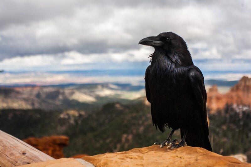 Burung Gagak, Hewan yang identik dengan Kematian