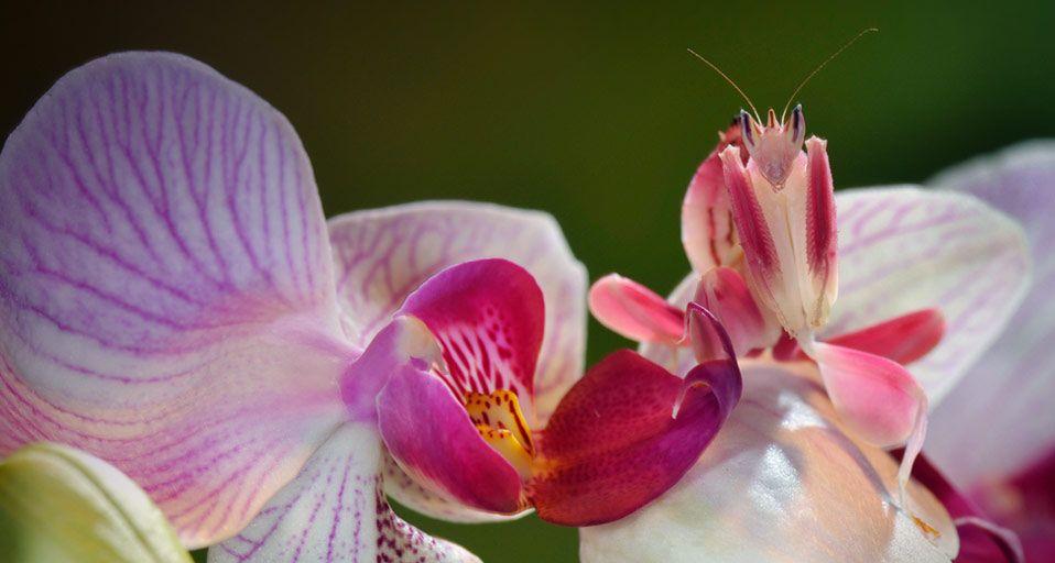 Gambar 1 Orchid Mantis