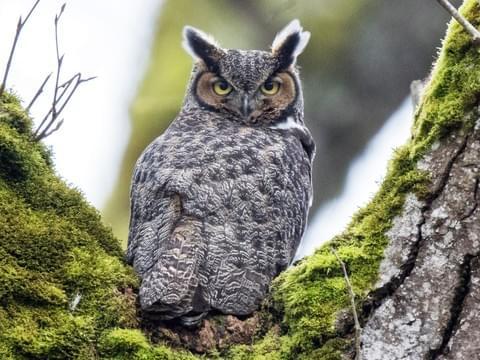 Gambar 1. Great Horned Owl