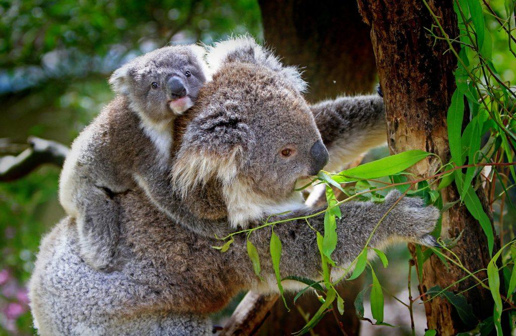 Gambar 1. Koala sebagai salah satu hewan arboreal