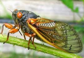 Gambar 1. Tonggeret, Serangga Bersuara Nyaring