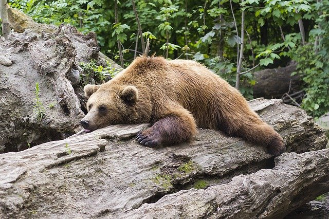 Beruang - © pixabay.com