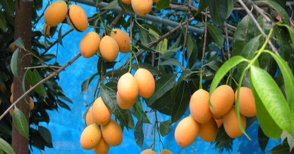 Gambar 2. Buah Gandaria Memiliki Bentuk Seperti Mangga dengan Warna Oranye ketika Masak dan Warna Hijau ketika Belum Masak