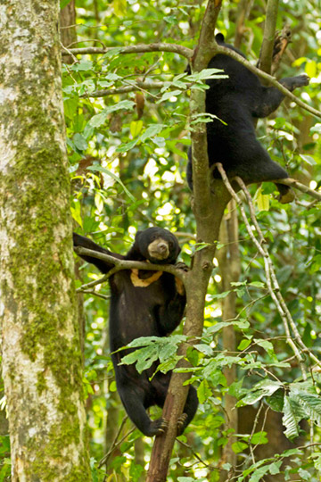 Gambar 2. Beruang Madu dengan Gaya Hidup Arboreal (© Jocelyn Stokes)