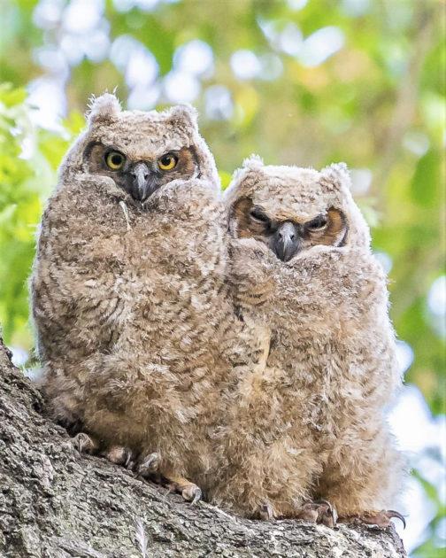 Gambar 2. Bayi Great Horned Owl