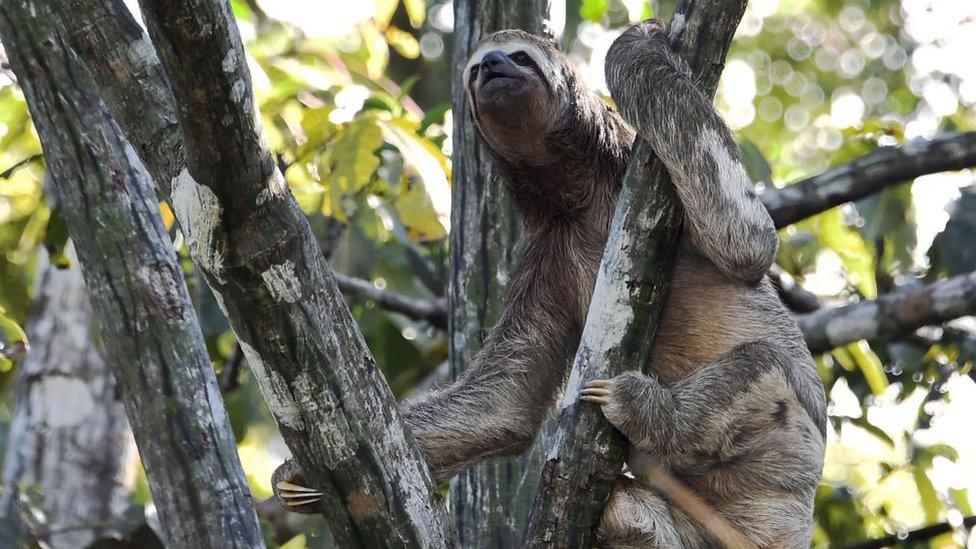Gambar 2. Kungkang menghabiskan sebagian besar waktunya di atas pohon
