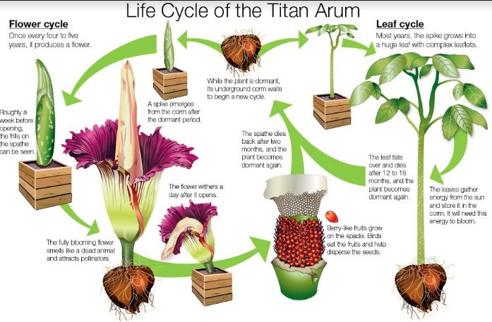 Gambar 2. Siklus Hidup Bunga Bangkai (Amorphophallus titanum)