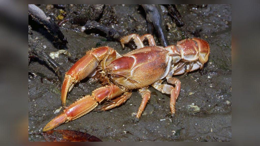 Crustacea Pada Ekosistem Mangrove Wanaswara