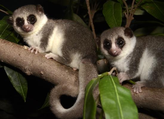 Fat-tail dwarf lemur - © lemur.duke.edu