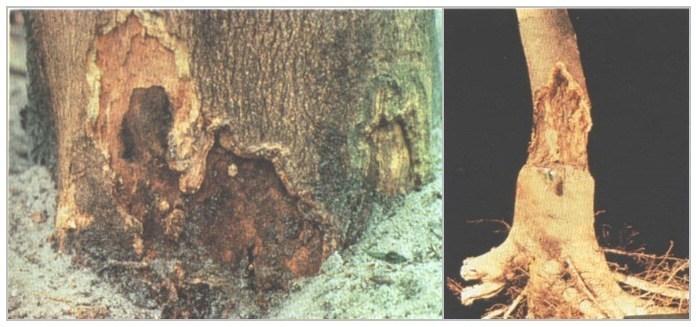 Gambar 3. Penyakit Busuk Akar © balitjestro.litbang.pertanian.go.idv