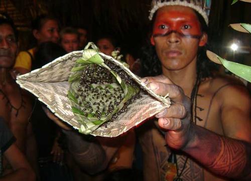 Gambar 3. Suku Asli Brazil, Sateré-Mawé, Menggunakan Sengatan Semut Peluru sebagai Tanda Kedewasaan pada Anak Laki-laki.