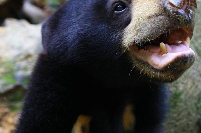 Gambar 3. Beruang Madu Menirukan Mimik Wajah