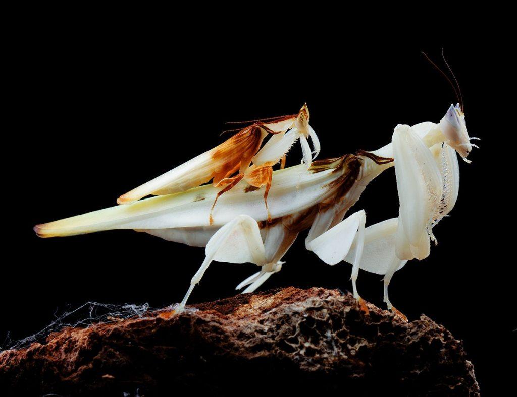 Gambar 3. Orchid Mantis Jantan (Kecil) dan Betina (Besar)
