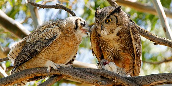 Gambar 3. Great Horned Owl Kawin Untuk Selamanya