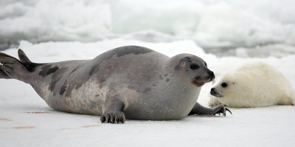Gambar 3. Induk Anjing Laut Harpa akan Melahirkan dan Menyusui Anaknya di Atas Bongkahan Es