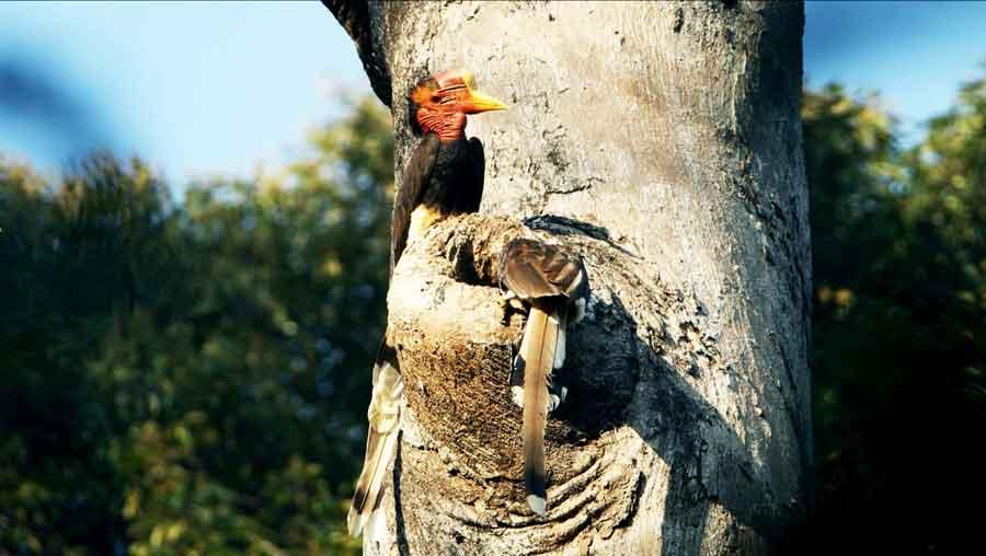 Gambar 3. Sarang burung rangkong gading di atas pohon