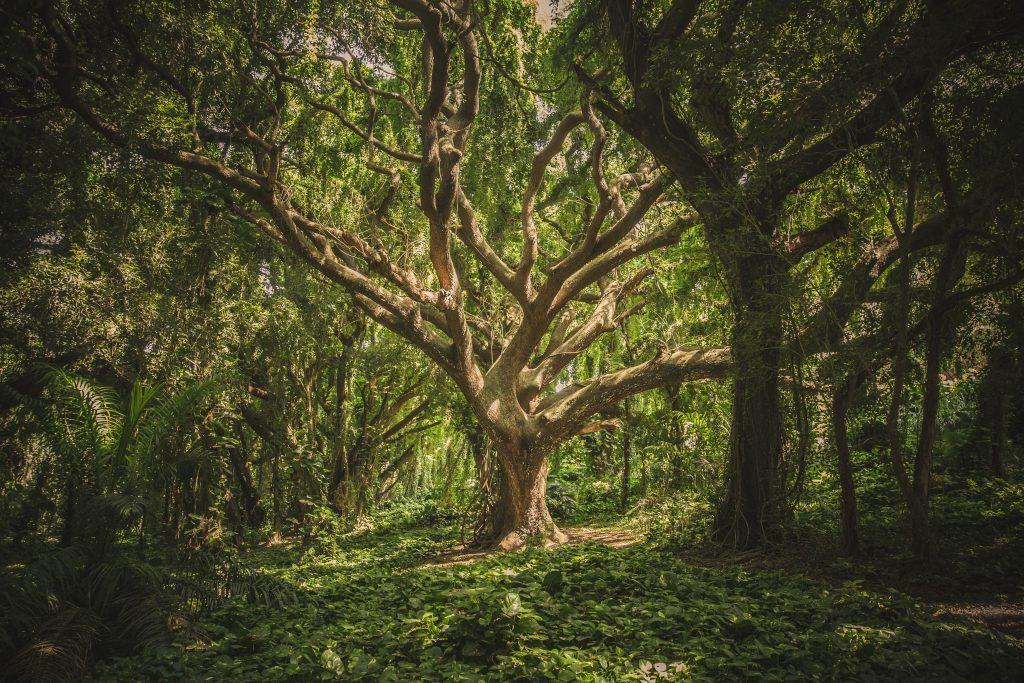 Gambar 4. Pohon yang Paling Besar Memiliki Nutrisi Lebih Banyak yang Dapat Disalurkan ke Pohon yang Membutuhkan Melalui Jaringan Akar Pohon
