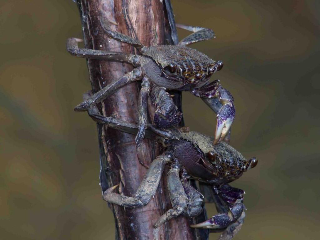 Gambar 6. Kepiting Pemanjat – Wanaswara
