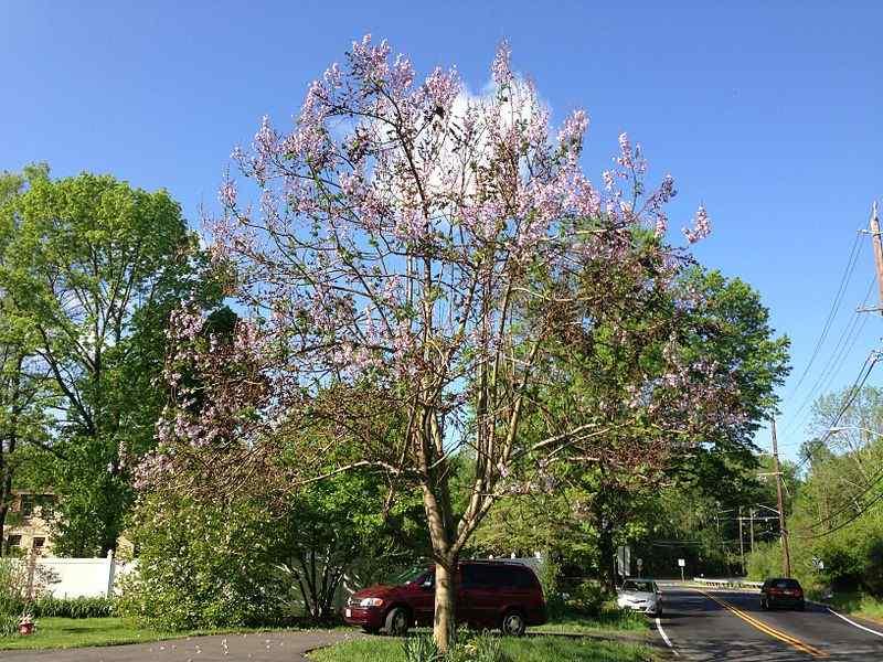 Gambar 5. Pohon Royal Empress