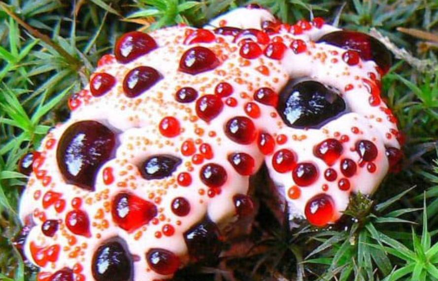Gambar 2. The bleeding-tooth fungus, or Hydnellum peckii