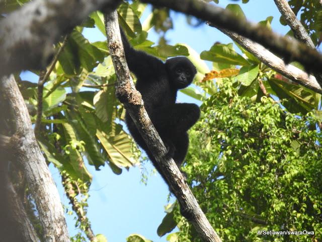 Gambar 3. Aktivitas Simakobu di Pepohonan