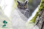 Great Horned Owl, Burung Hantu dengan Telinga Kucing