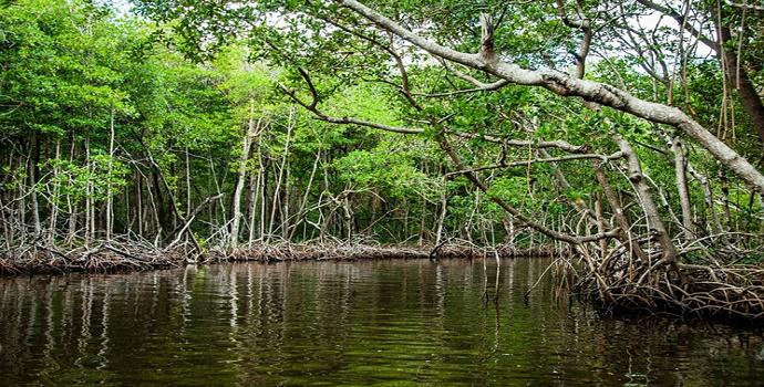 Hutan Bakau Sebagai Hutan Pesisir