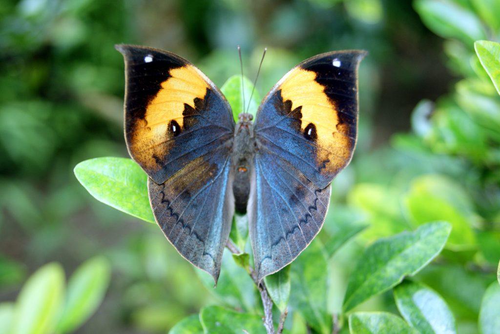 Gambar 3. Pola sayap kupu-kupu daun mati